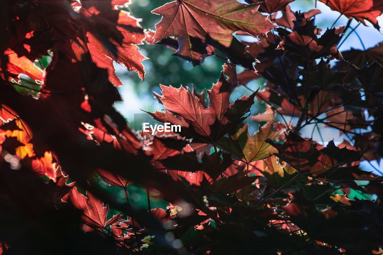 plant part, plant, autumn, leaf, beauty in nature, tree, close-up, growth, nature, change, no people, branch, day, selective focus, outdoors, leaves, maple leaf, low angle view, focus on foreground, tranquility, natural condition