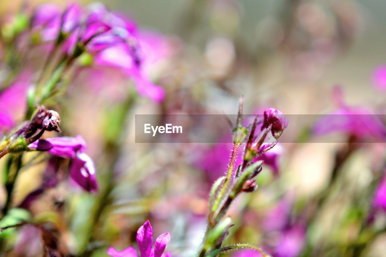 flower, fragility, nature, growth, purple, beauty in nature, selective focus, plant, no people, petal, pink color, day, focus on foreground, close-up, outdoors, freshness, blooming, flower head