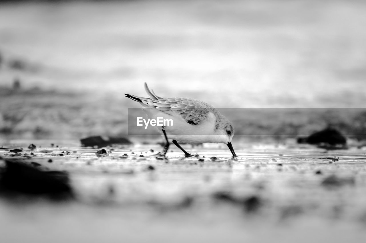bird, animal, selective focus, animal themes, vertebrate, animals in the wild, animal wildlife, one animal, no people, day, close-up, nature, young animal, land, outdoors, surface level, perching, beach, young bird