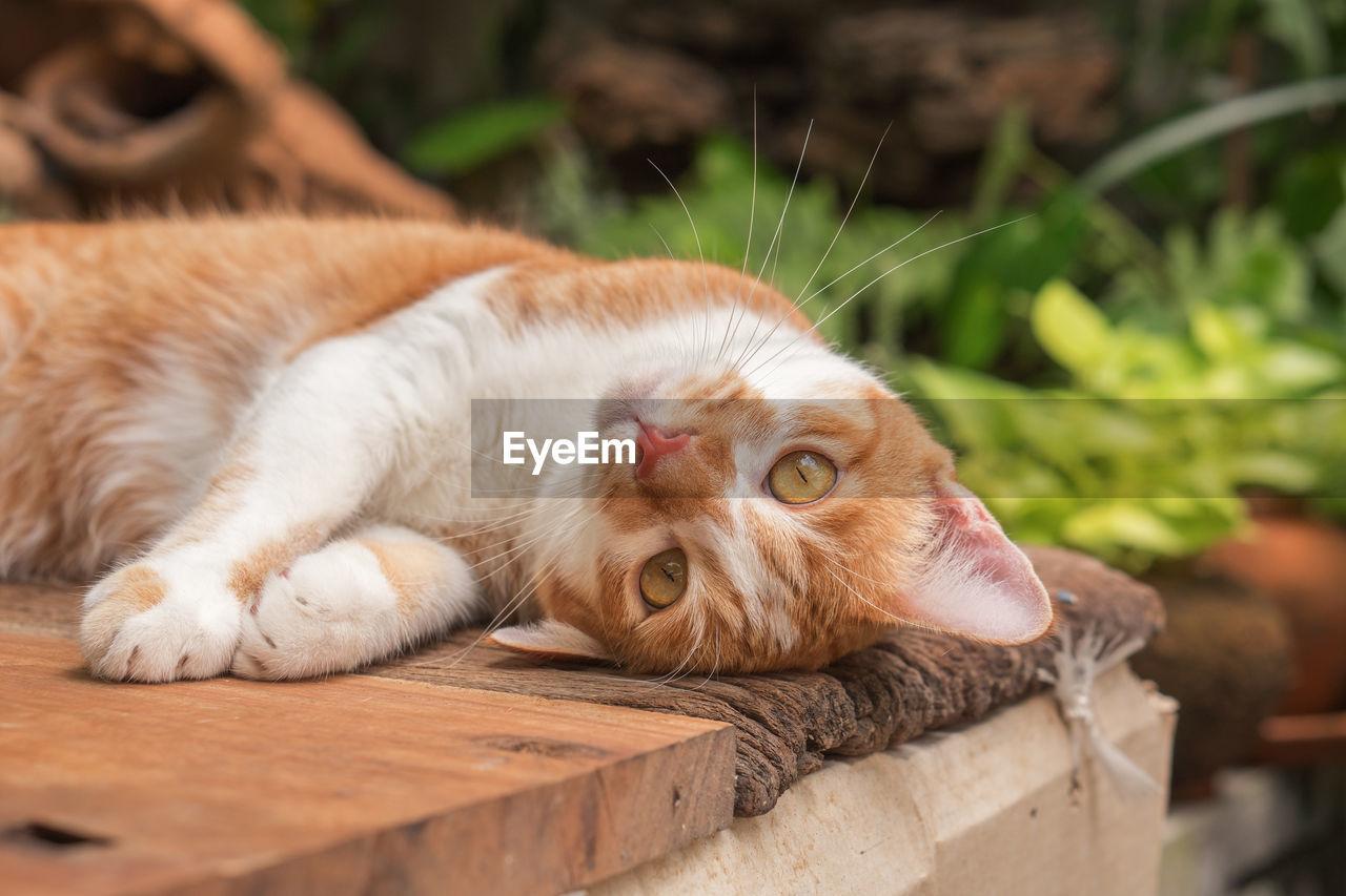 Close-up portrait of cat lying on wood