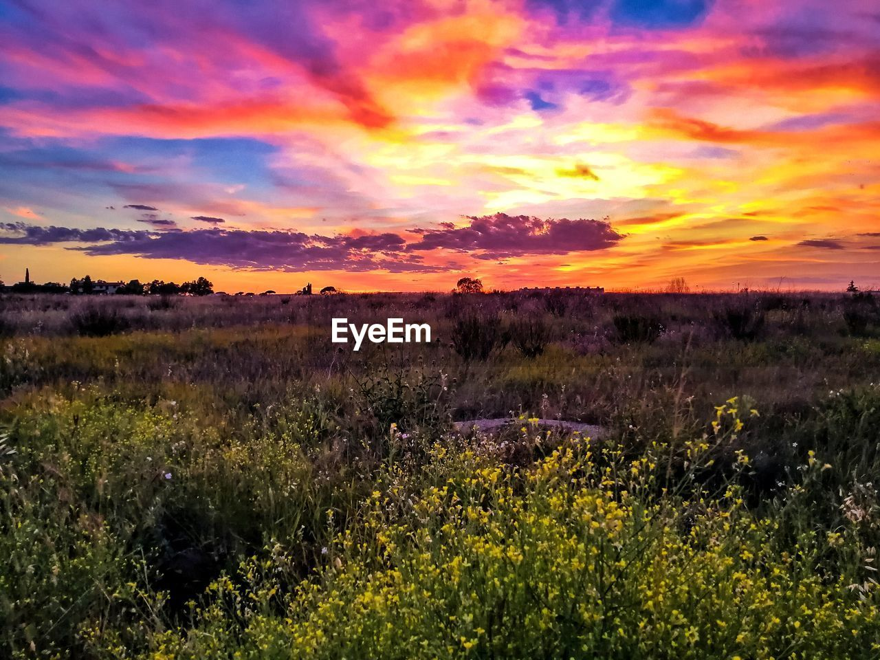 SCENIC VIEW OF PURPLE FIELD AGAINST SKY DURING SUNSET