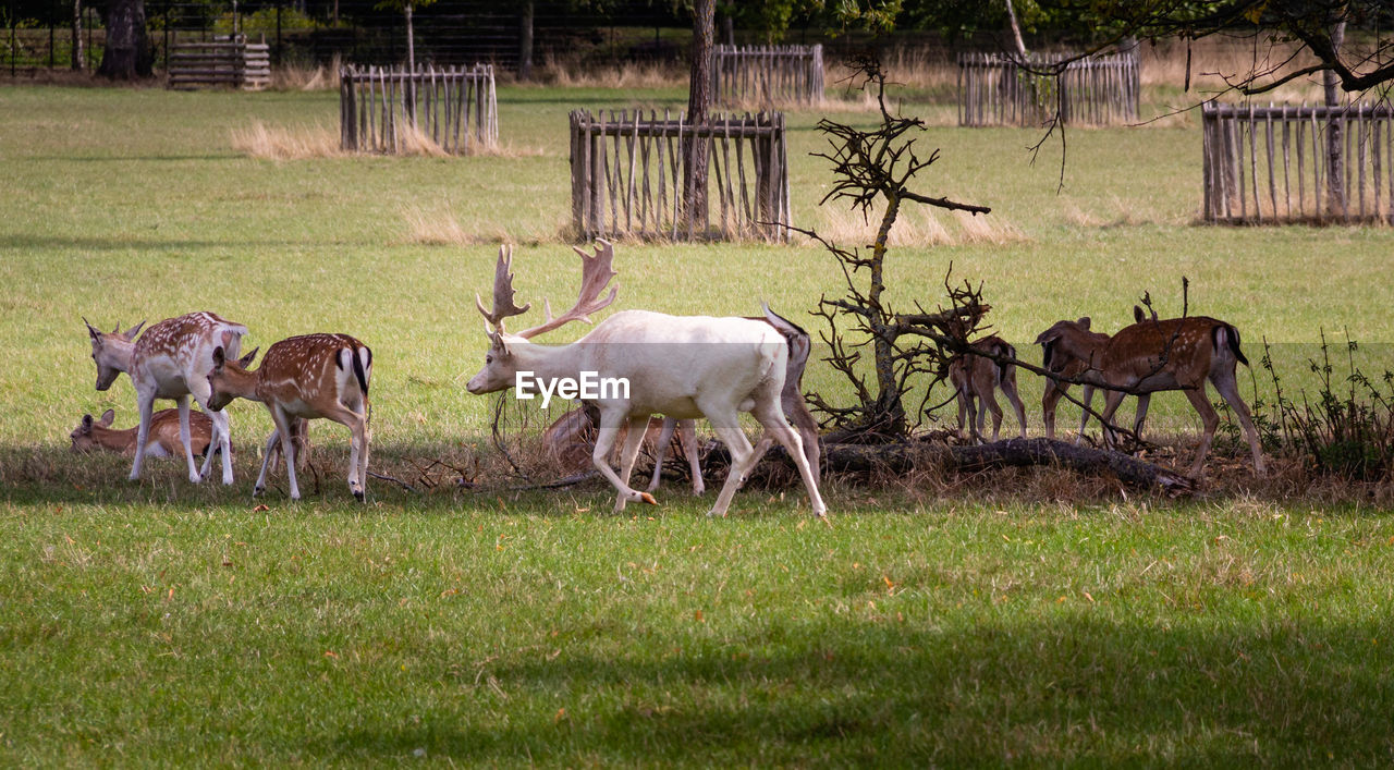 animal themes, animal, grass, group of animals, mammal, plant, animal wildlife, field, animals in the wild, land, domestic animals, day, vertebrate, no people, nature, standing, deer, livestock, tree, agriculture, herbivorous, outdoors, herd