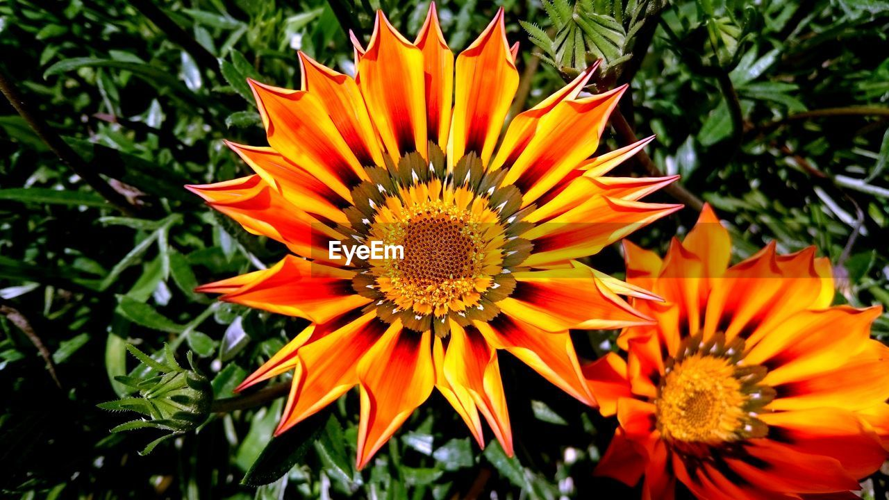 flower, petal, orange color, beauty in nature, nature, freshness, growth, fragility, flower head, gazania, blooming, plant, outdoors, day, no people, yellow, close-up