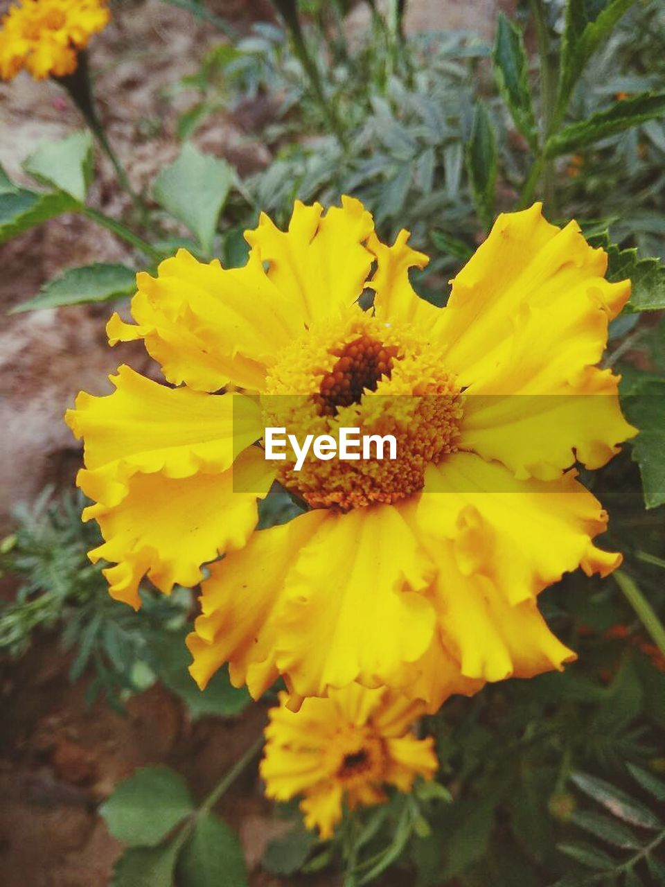 flower, yellow, petal, fragility, nature, flower head, beauty in nature, growth, plant, freshness, no people, vibrant color, outdoors, marigold, springtime, blossom, day, blooming, close-up