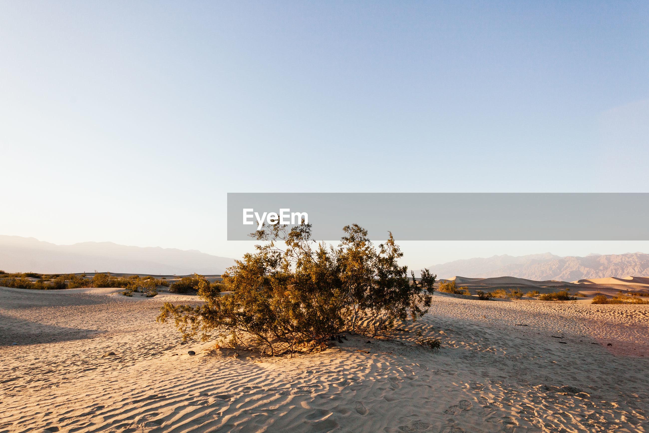 Bush in mojave desert against sky