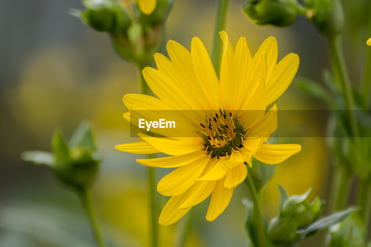 flowering plant, flower, yellow, fragility, petal, vulnerability, freshness, plant, beauty in nature, flower head, growth, inflorescence, close-up, invertebrate, insect, pollen, focus on foreground, nature, animal wildlife, day, no people, outdoors, pollination, gazania