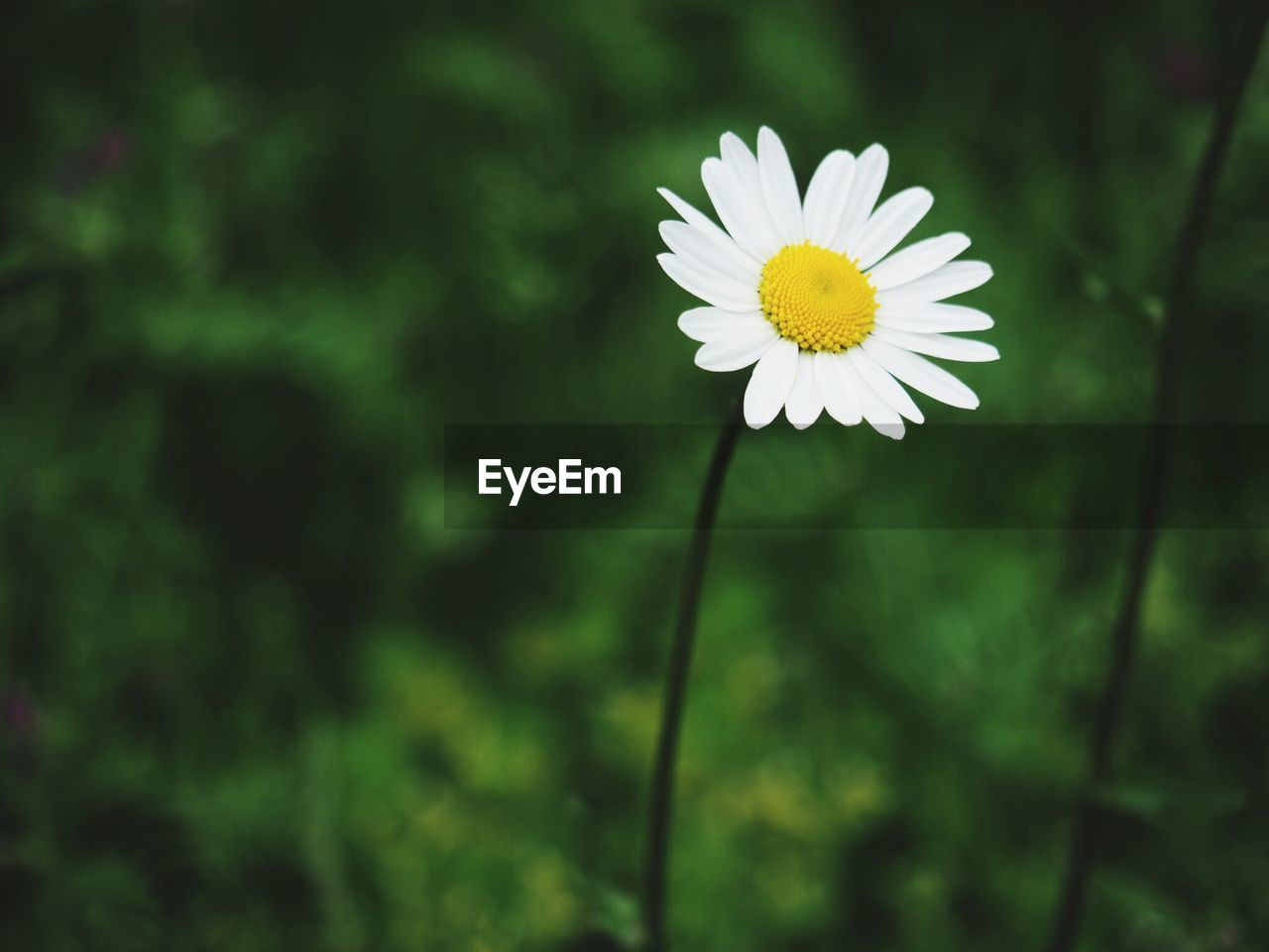 flower, nature, beauty in nature, fragility, freshness, petal, growth, flower head, white color, plant, focus on foreground, close-up, outdoors, yellow, no people, blooming, day