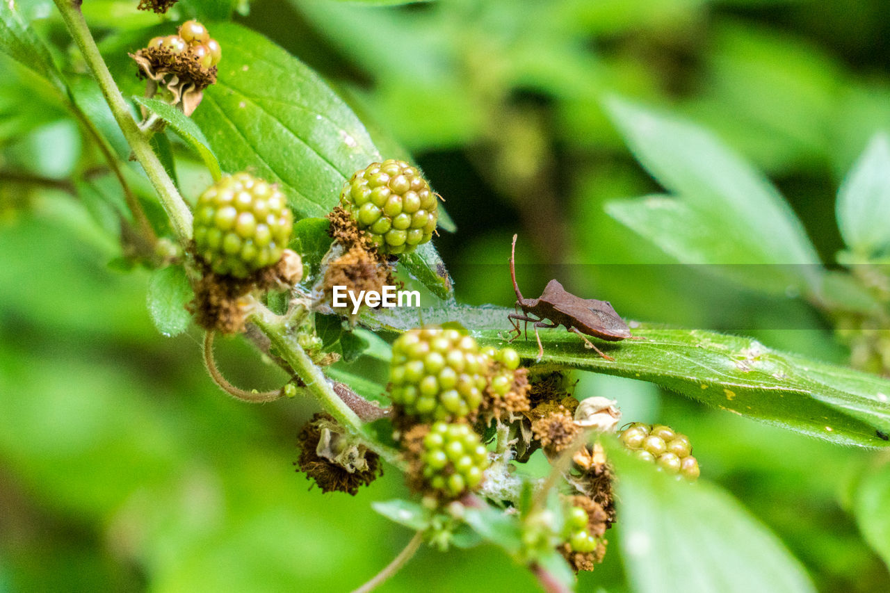 growth, plant, green color, close-up, day, beauty in nature, leaf, plant part, nature, selective focus, no people, food and drink, fruit, freshness, healthy eating, food, focus on foreground, bud, beginnings, tree, outdoors