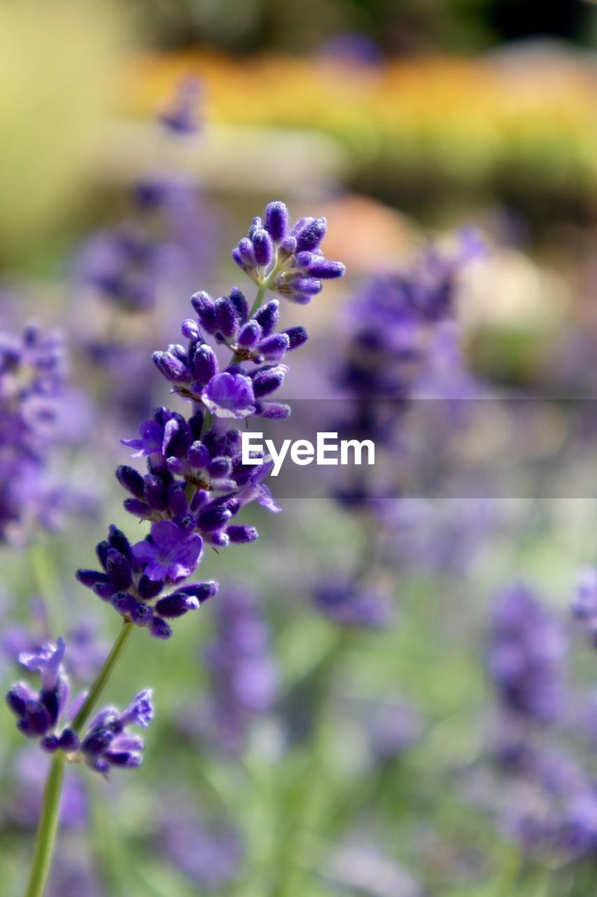 flowering plant, flower, purple, plant, vulnerability, beauty in nature, fragility, freshness, growth, close-up, lavender, no people, nature, petal, day, lavender colored, selective focus, flower head, botany, focus on foreground, outdoors