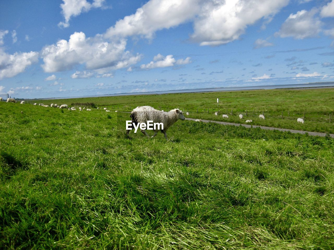 animal themes, animal, mammal, grass, domestic, pets, cloud - sky, field, domestic animals, vertebrate, plant, land, livestock, sky, green color, one animal, sheep, environment, nature, landscape, no people, outdoors, herbivorous