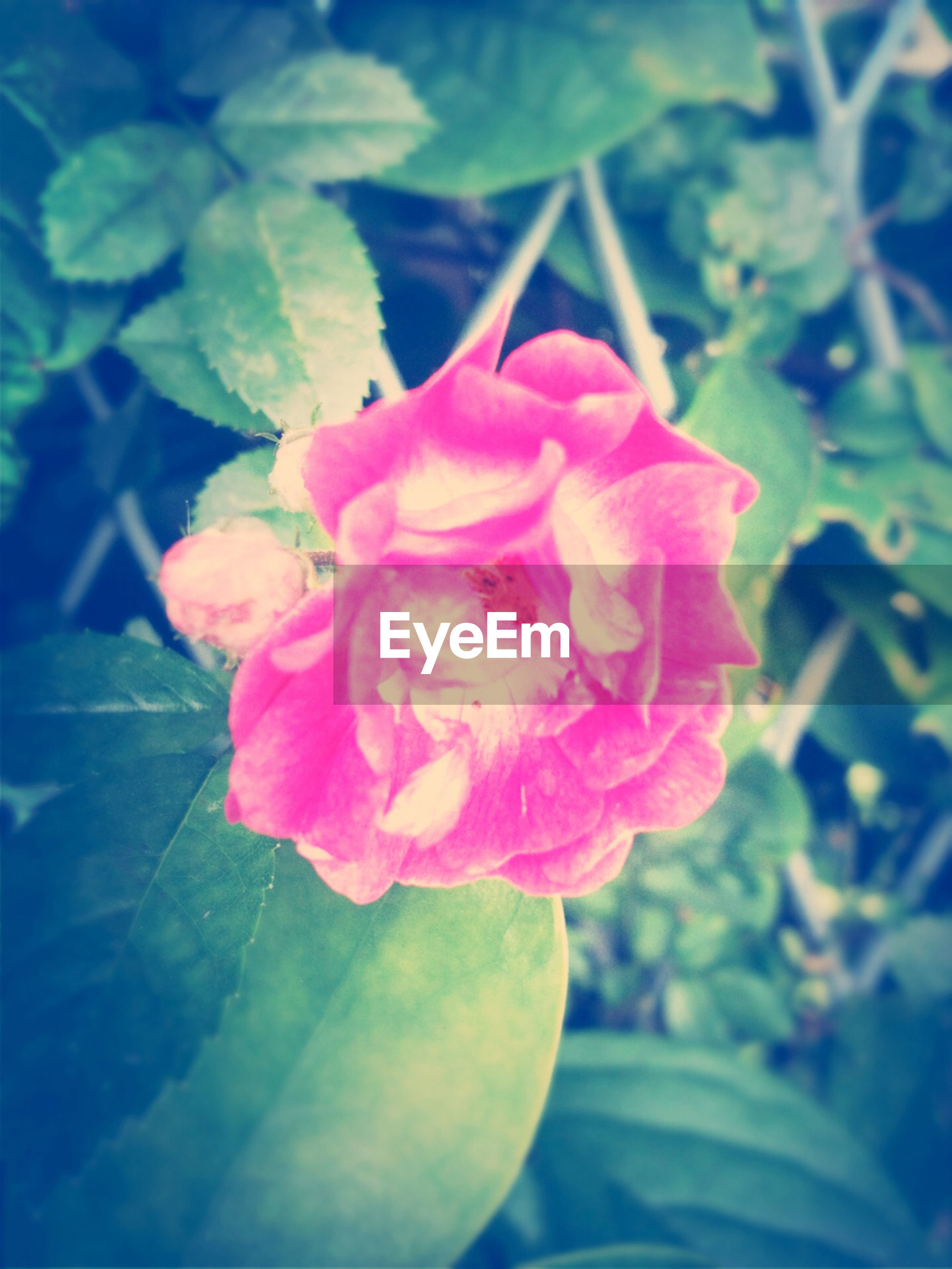 flower, petal, flower head, fragility, freshness, pink color, beauty in nature, rose - flower, growth, close-up, single flower, blooming, nature, plant, leaf, focus on foreground, in bloom, rose, pink, blossom