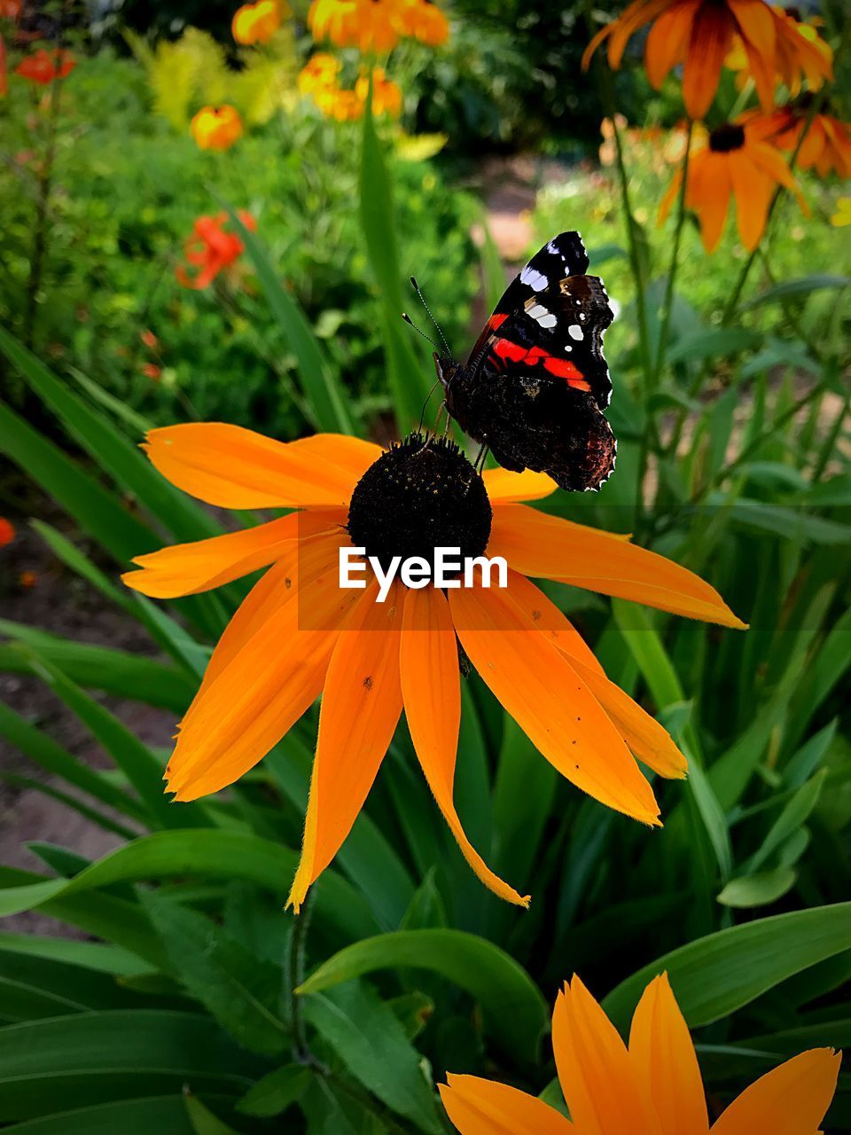 flowering plant, flower, beauty in nature, plant, petal, fragility, vulnerability, growth, flower head, freshness, invertebrate, inflorescence, animal themes, insect, animal, one animal, coneflower, close-up, nature, animal wildlife, butterfly - insect, animal wing, no people, pollination, pollen, outdoors, butterfly