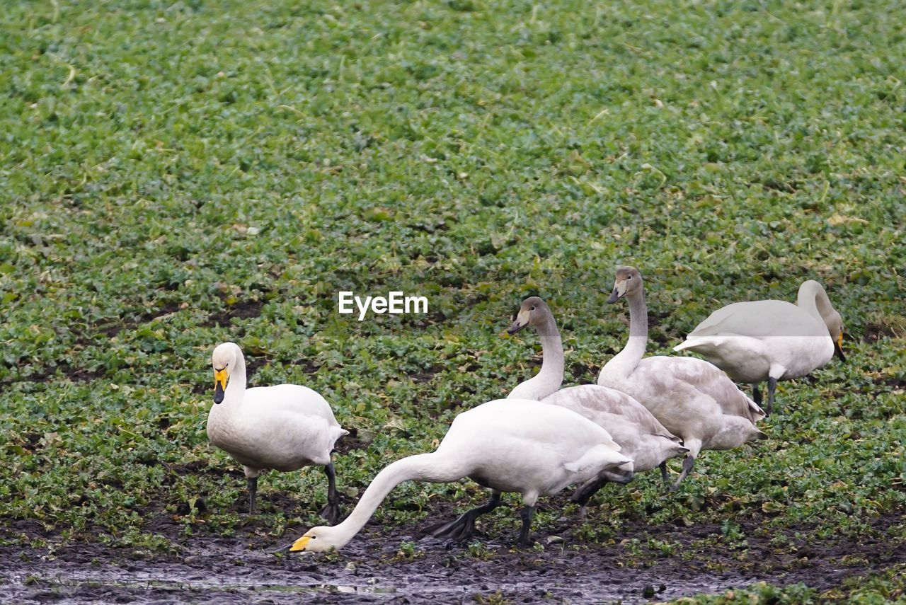 Swans Perching On Field