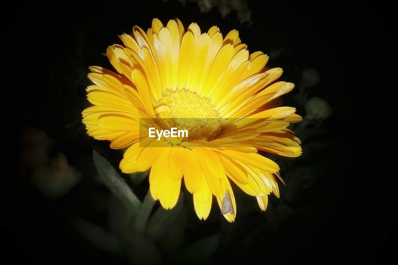 flower, yellow, petal, fragility, flower head, freshness, beauty in nature, nature, growth, blooming, plant, no people, close-up, outdoors, black background, day