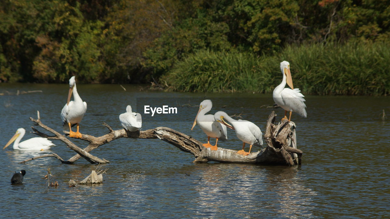 Pelicans Perching On Driftwood