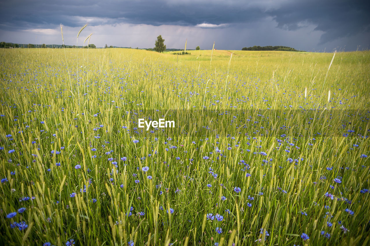 field, plant, land, growth, beauty in nature, sky, landscape, tranquility, environment, agriculture, scenics - nature, green color, rural scene, tranquil scene, crop, nature, cloud - sky, farm, no people, day, outdoors, plantation