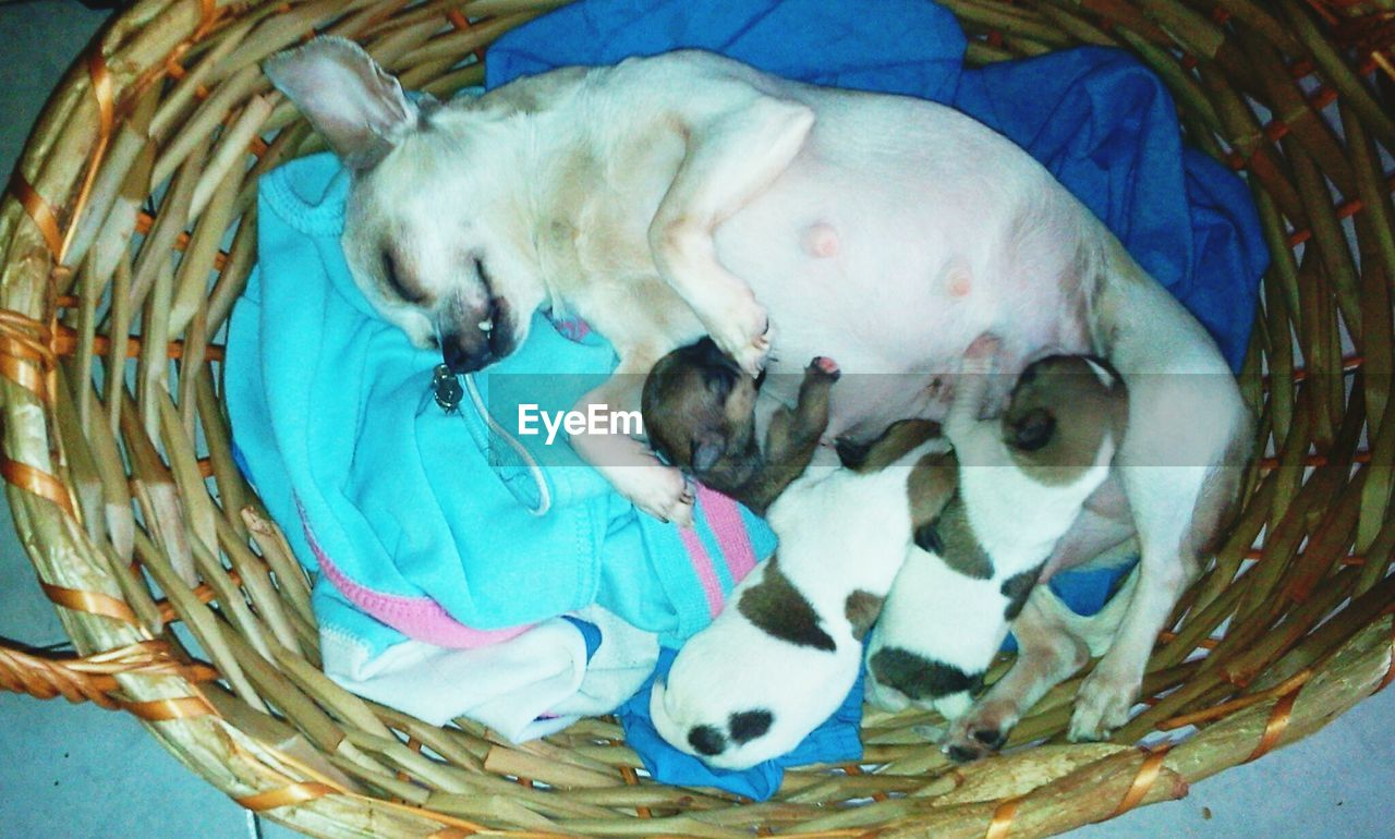 basket, dog, pets, domestic animals, mammal, sleeping, animal themes, one animal, high angle view, no people, relaxation, indoors, day, close-up