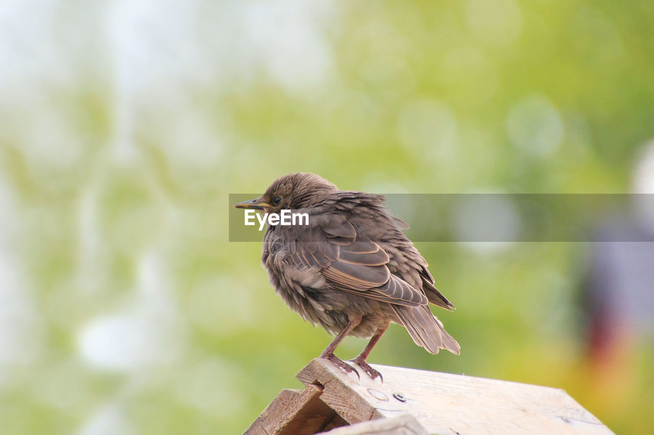 animal, animal themes, one animal, bird, animals in the wild, animal wildlife, vertebrate, perching, focus on foreground, day, no people, wood - material, close-up, full length, nature, zoology, side view, outdoors, tree, looking away