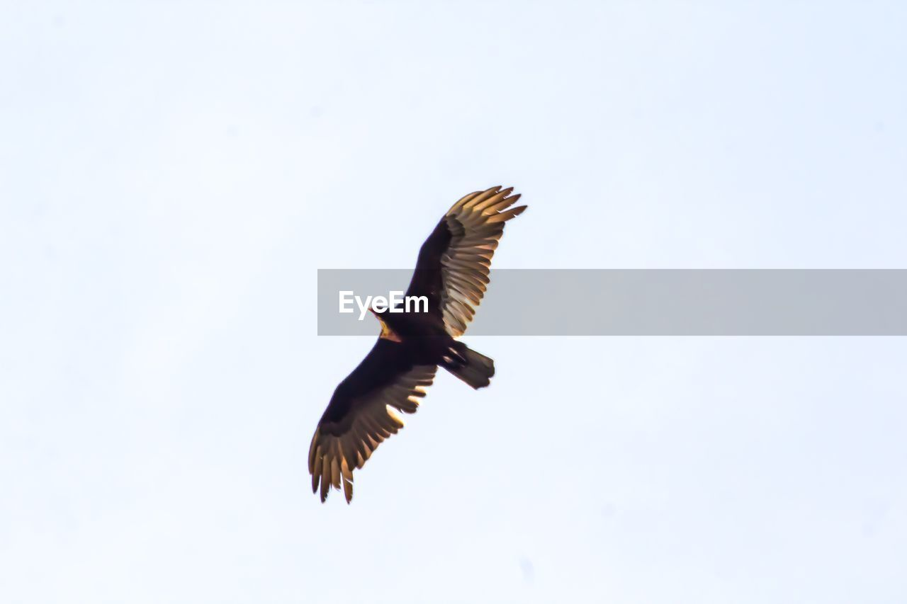 animals in the wild, animal wildlife, flying, spread wings, animal themes, animal, vertebrate, bird, sky, one animal, clear sky, copy space, low angle view, nature, mid-air, no people, motion, day, outdoors, bird of prey, eagle