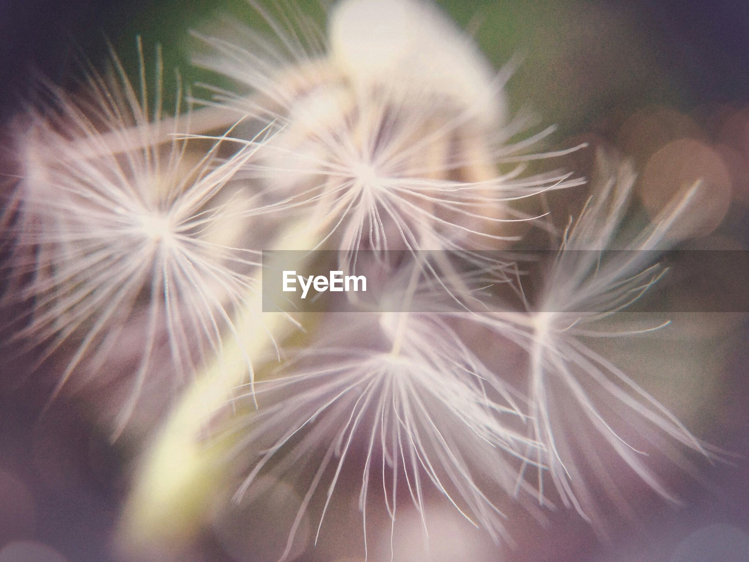 Close-up of dandelion growing in field
