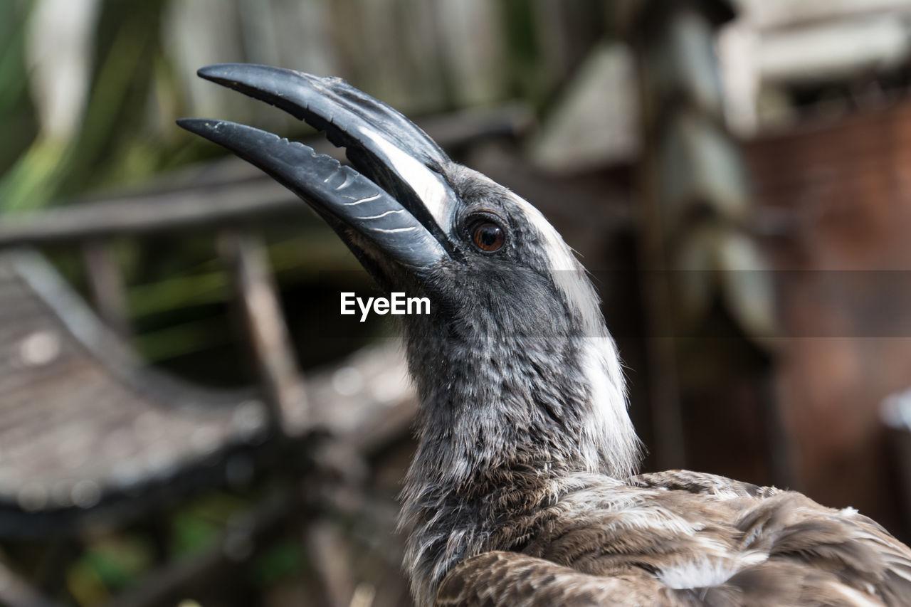 Close-up of african grey hornbill
