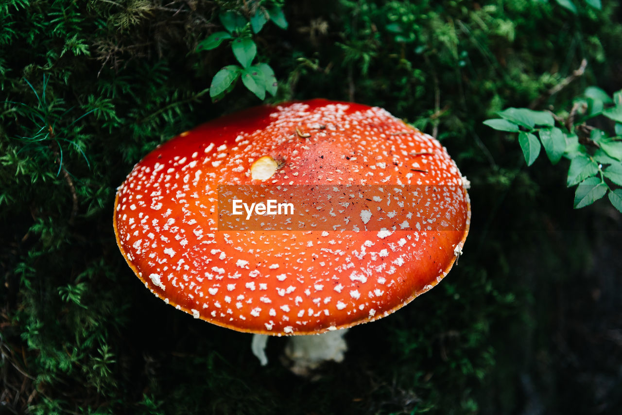 mushroom, red, growth, fly agaric mushroom, fungus, food, plant, close-up, toadstool, vegetable, no people, nature, land, day, beauty in nature, spotted, focus on foreground, green color, edible mushroom, field, outdoors, poisonous
