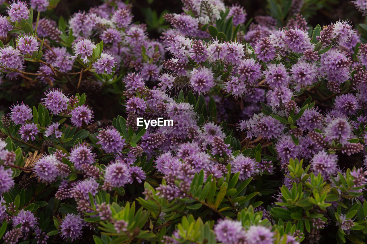 CLOSE-UP OF PURPLE FLOWERS GROWING IN PLANT