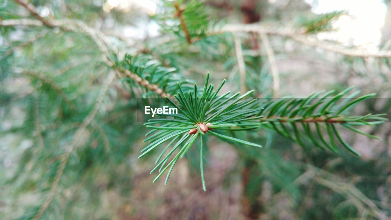 green color, nature, growth, focus on foreground, close-up, fragility, beauty in nature, pine tree, no people, plant, day, outdoors, leaf, freshness, needle, tree, flower