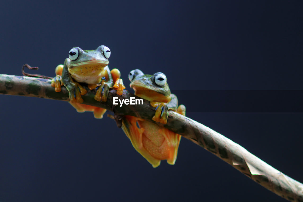 animal themes, animal, vertebrate, one animal, animal wildlife, animals in the wild, copy space, nature, no people, close-up, studio shot, branch, reptile, outdoors, clear sky, twig, animal body part, plant, lizard, animal eye, animal head, black background, mouth open