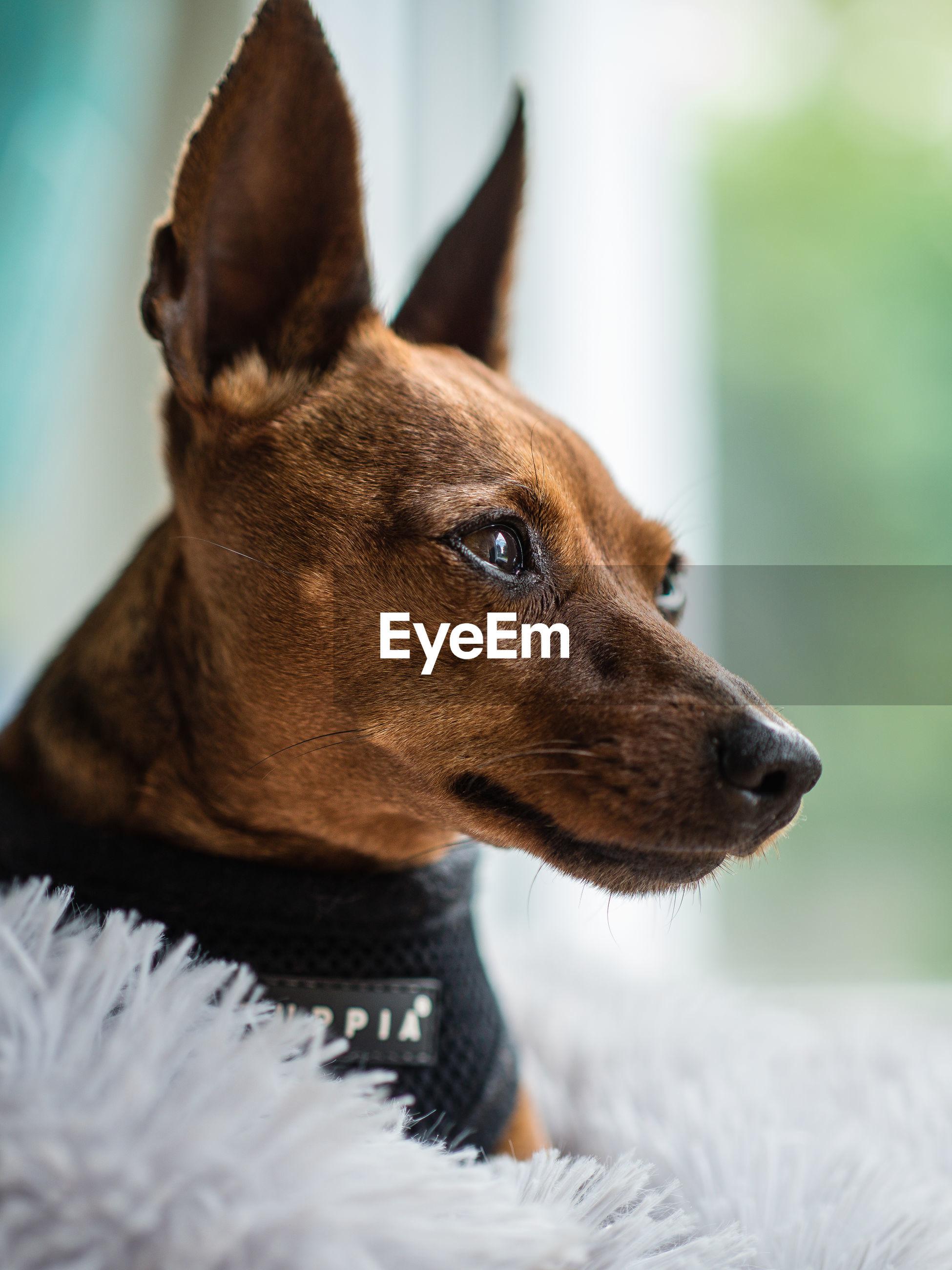 CLOSE-UP OF A DOG LOOKING AT CAMERA