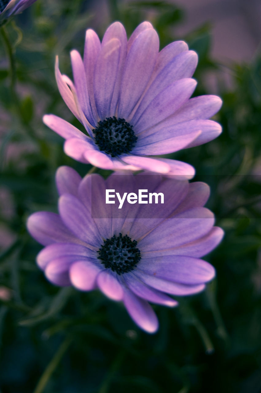 flower, petal, growth, fragility, flower head, nature, beauty in nature, plant, blooming, freshness, no people, outdoors, close-up, day, osteospermum