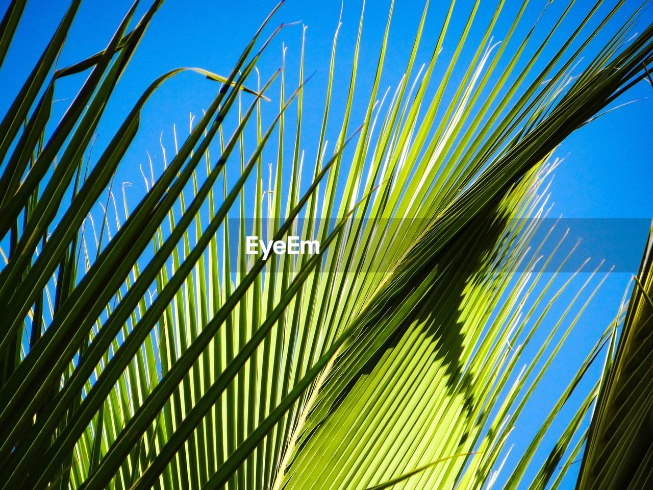 growth, palm tree, palm leaf, leaf, plant, green color, sky, nature, plant part, low angle view, tree, beauty in nature, no people, tropical climate, pattern, day, close-up, sunlight, blue, clear sky, outdoors