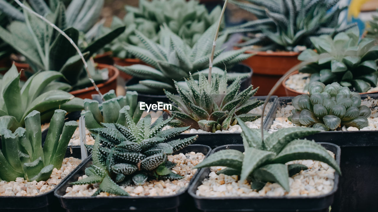Close-up of potted plants for sale at market