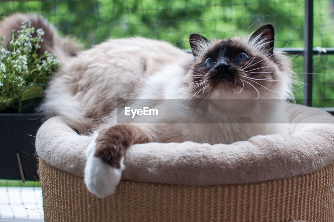 domestic cat, pets, feline, domestic animals, mammal, relaxation, lying down, animal themes, looking at camera, portrait, day, no people, sitting, siamese cat, indoors, kitten, close-up