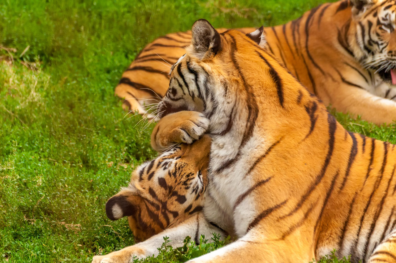 tiger, feline, cat, mammal, animal themes, animal, animal wildlife, big cat, animals in the wild, group of animals, two animals, grass, endangered species, nature, carnivora, relaxation, no people, striped, togetherness, zoo, outdoors, undomesticated cat, care