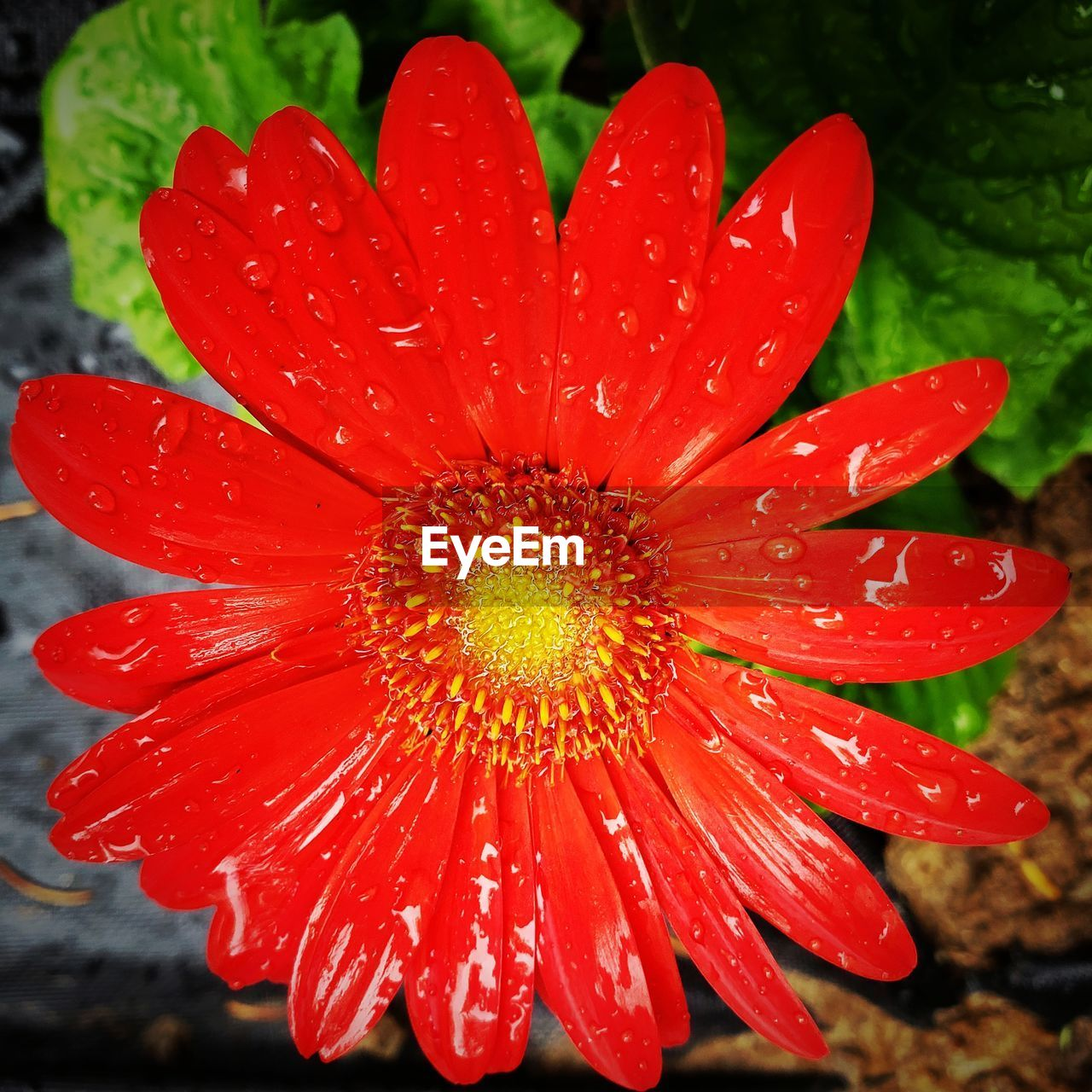 red, fragility, vulnerability, beauty in nature, petal, flowering plant, freshness, close-up, flower, flower head, growth, wet, inflorescence, plant, drop, water, nature, no people, pollen, rain, raindrop, dew, gazania