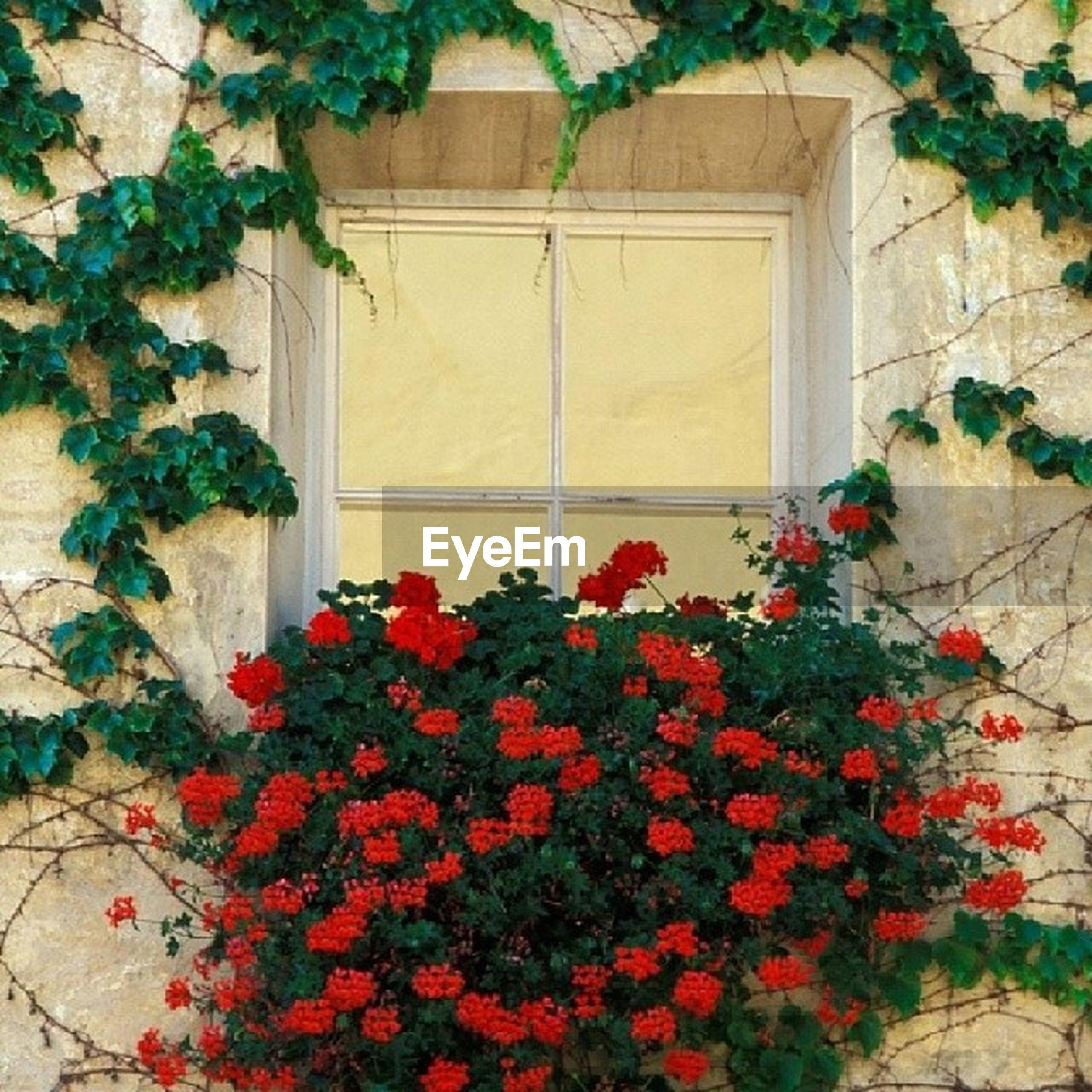 flower, plant, growth, red, built structure, wall - building feature, architecture, building exterior, leaf, freshness, wall, potted plant, ivy, fragility, house, nature, growing, brick wall, day, petal