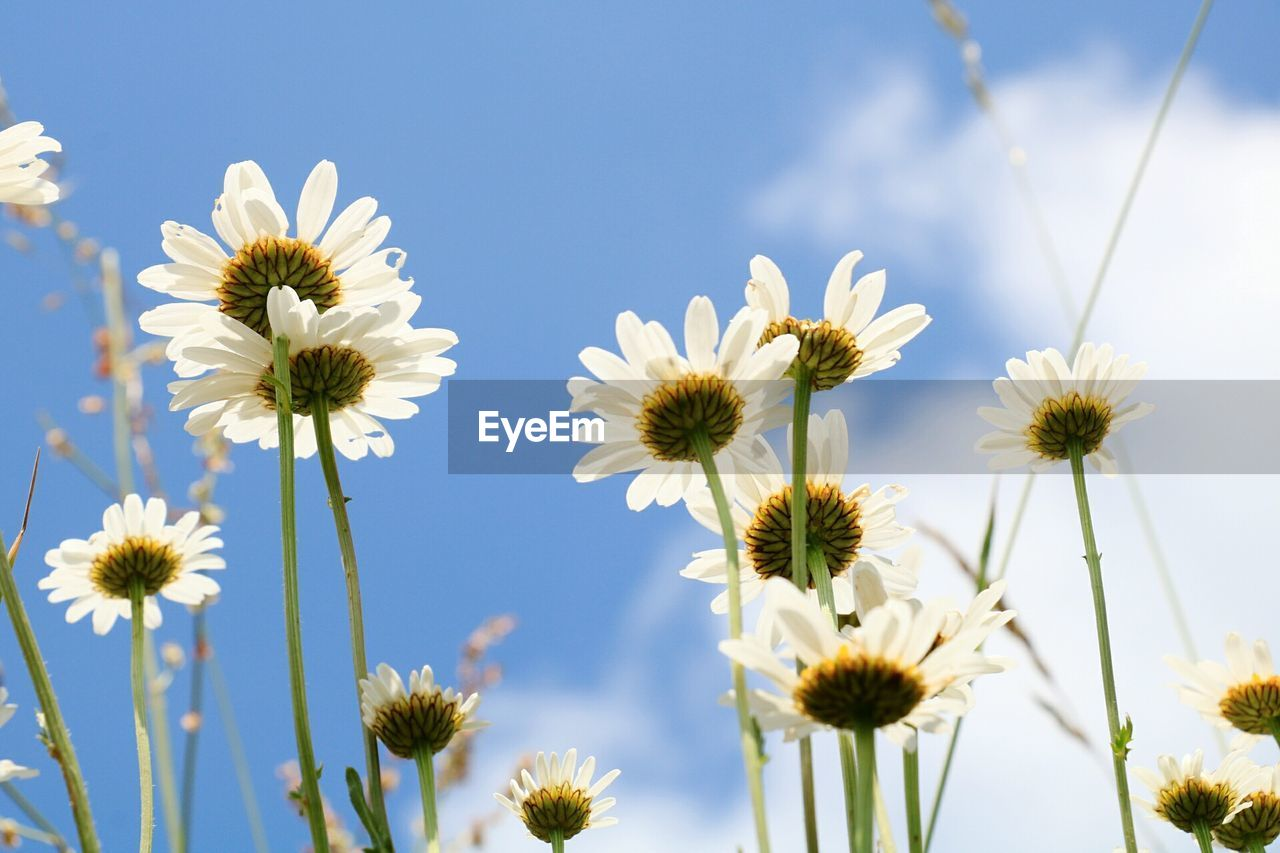 Close-Up Of Cosmos Flowers Blooming Against Clear Sky
