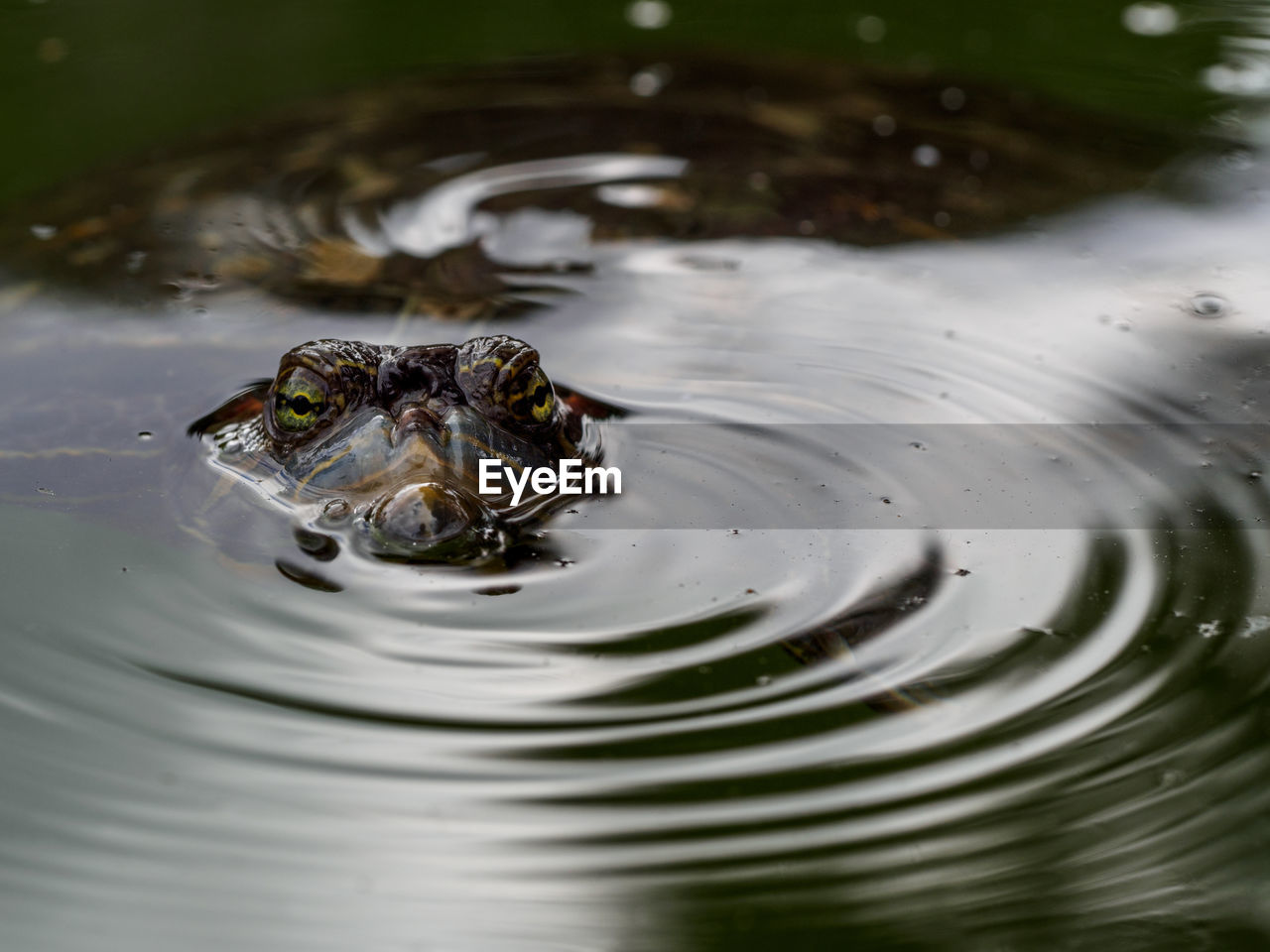 High angle portrait of turtle swimming in pond