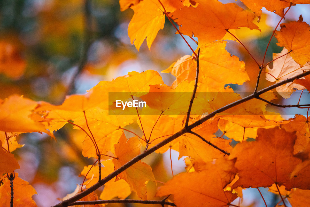 CLOSE-UP OF YELLOW MAPLE LEAVES AGAINST ORANGE SKY