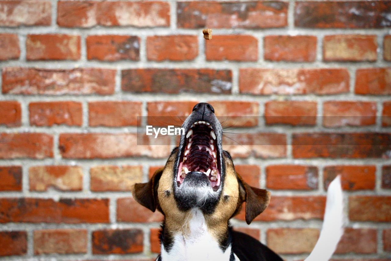 Front view of dog next to brick wall