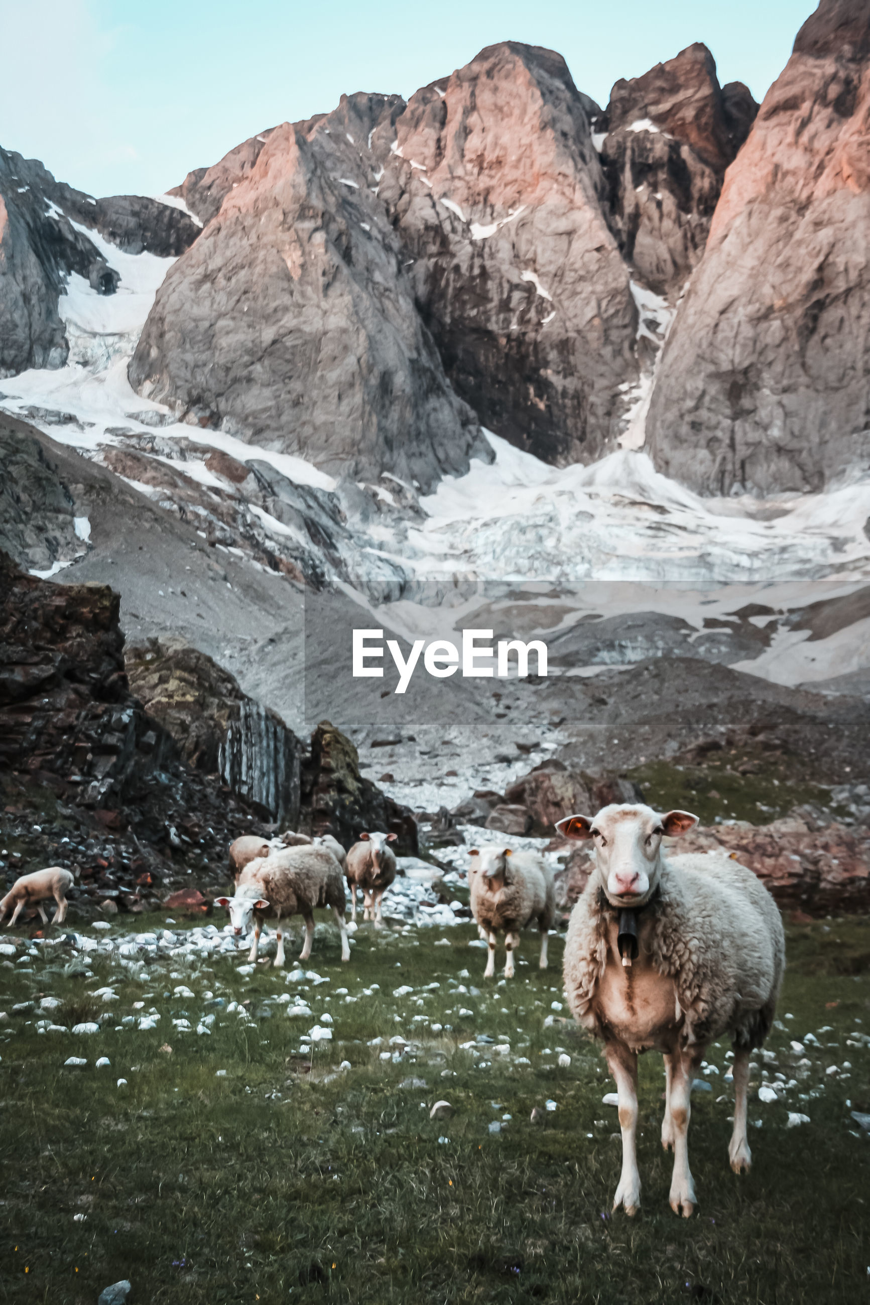 FLOCK OF SHEEP IN A MOUNTAIN
