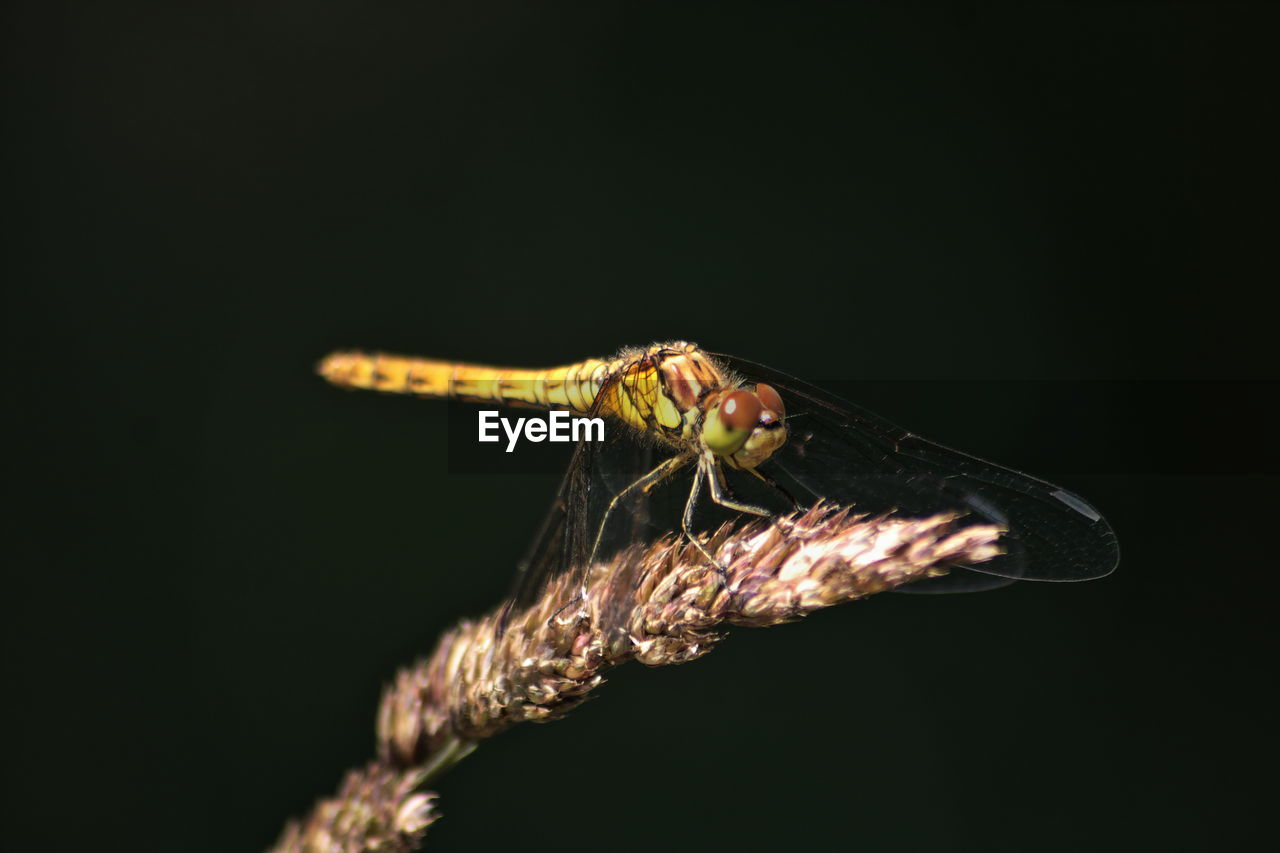 Close-up of common darter on bud against black background