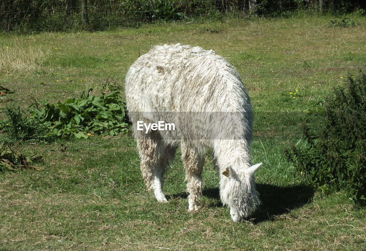 mammal, animal, animal themes, domestic animals, grass, plant, one animal, domestic, livestock, pets, land, field, vertebrate, no people, nature, day, agriculture, grazing, animal wildlife, standing, outdoors, herbivorous