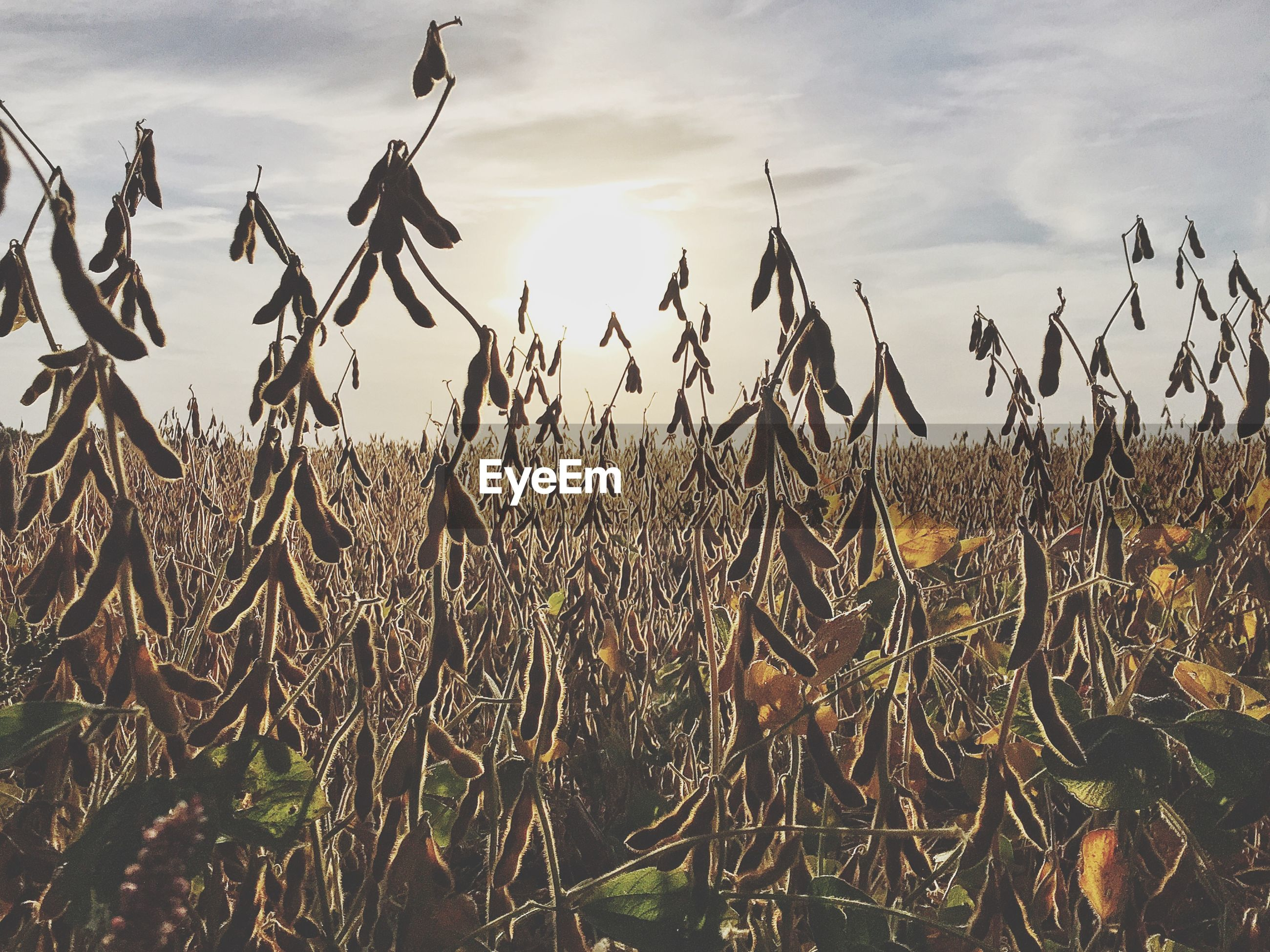View of soybean field against cloudy sky