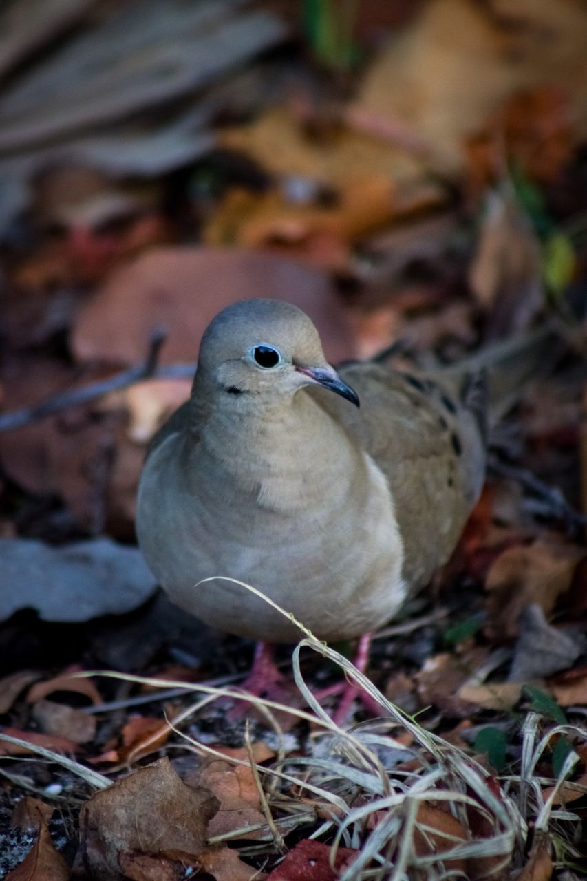 animal themes, bird, animal, animals in the wild, vertebrate, animal wildlife, one animal, no people, close-up, leaf, day, plant part, nature, perching, land, field, dry, focus on foreground, outdoors, selective focus
