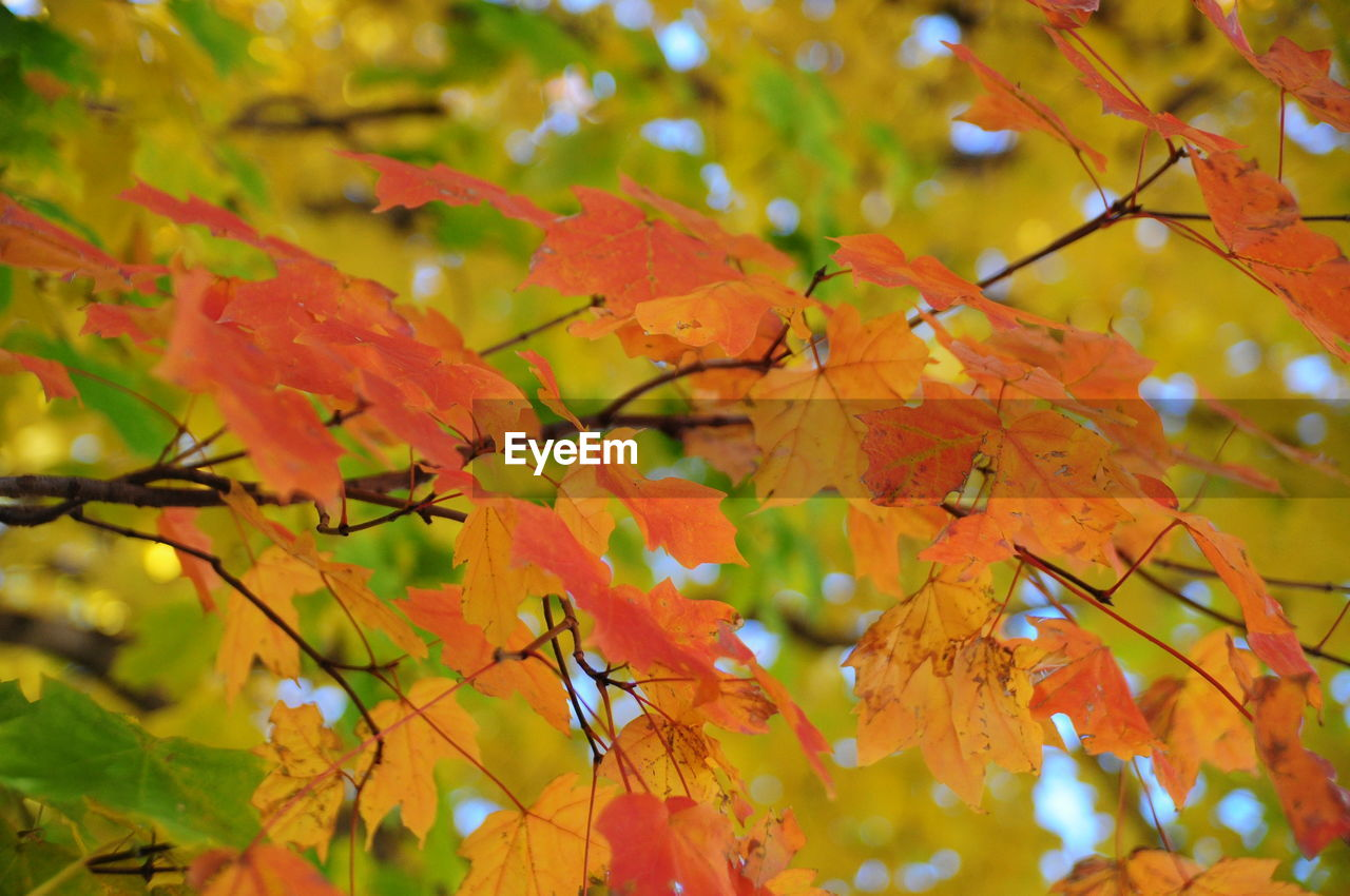 autumn, leaf, change, nature, beauty in nature, maple leaf, growth, maple tree, branch, tree, outdoors, maple, day, tranquility, no people, scenics, close-up
