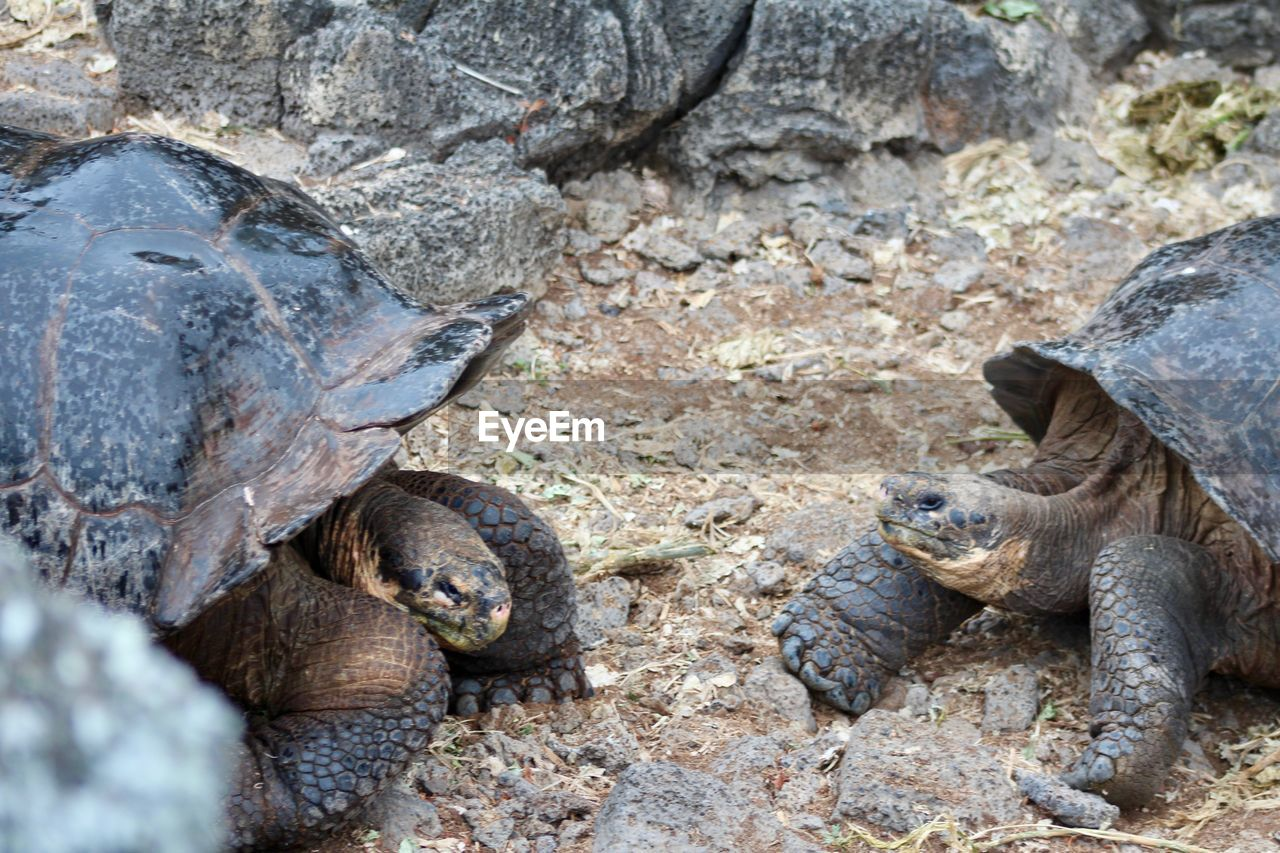 animals in the wild, animal wildlife, reptile, animal themes, one animal, day, rock - object, nature, outdoors, no people, tortoise, iguana, tortoise shell, sea life, close-up, mammal