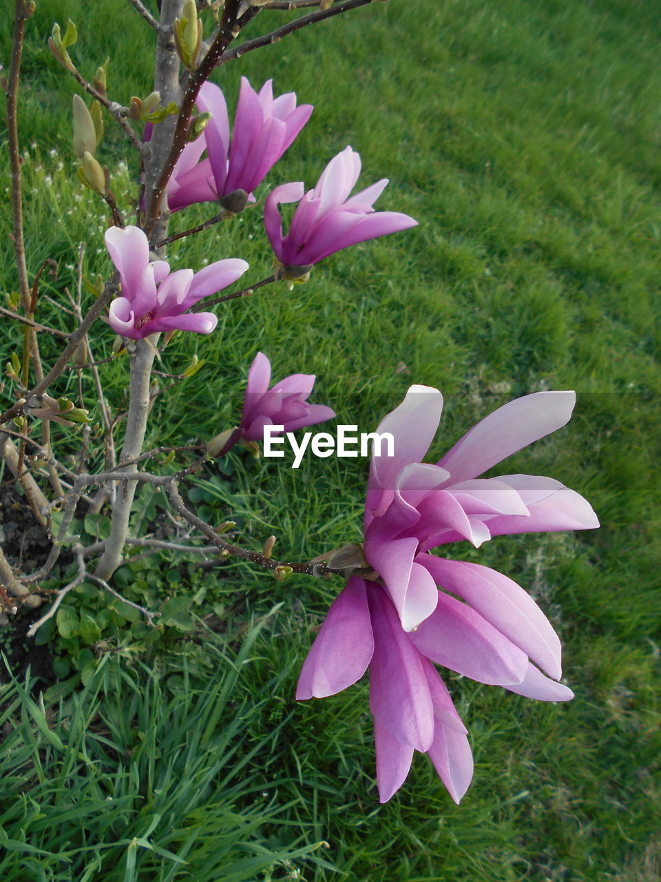plant, flowering plant, flower, vulnerability, beauty in nature, fragility, petal, pink color, growth, freshness, close-up, inflorescence, flower head, grass, field, nature, land, no people, day, green color, outdoors, purple
