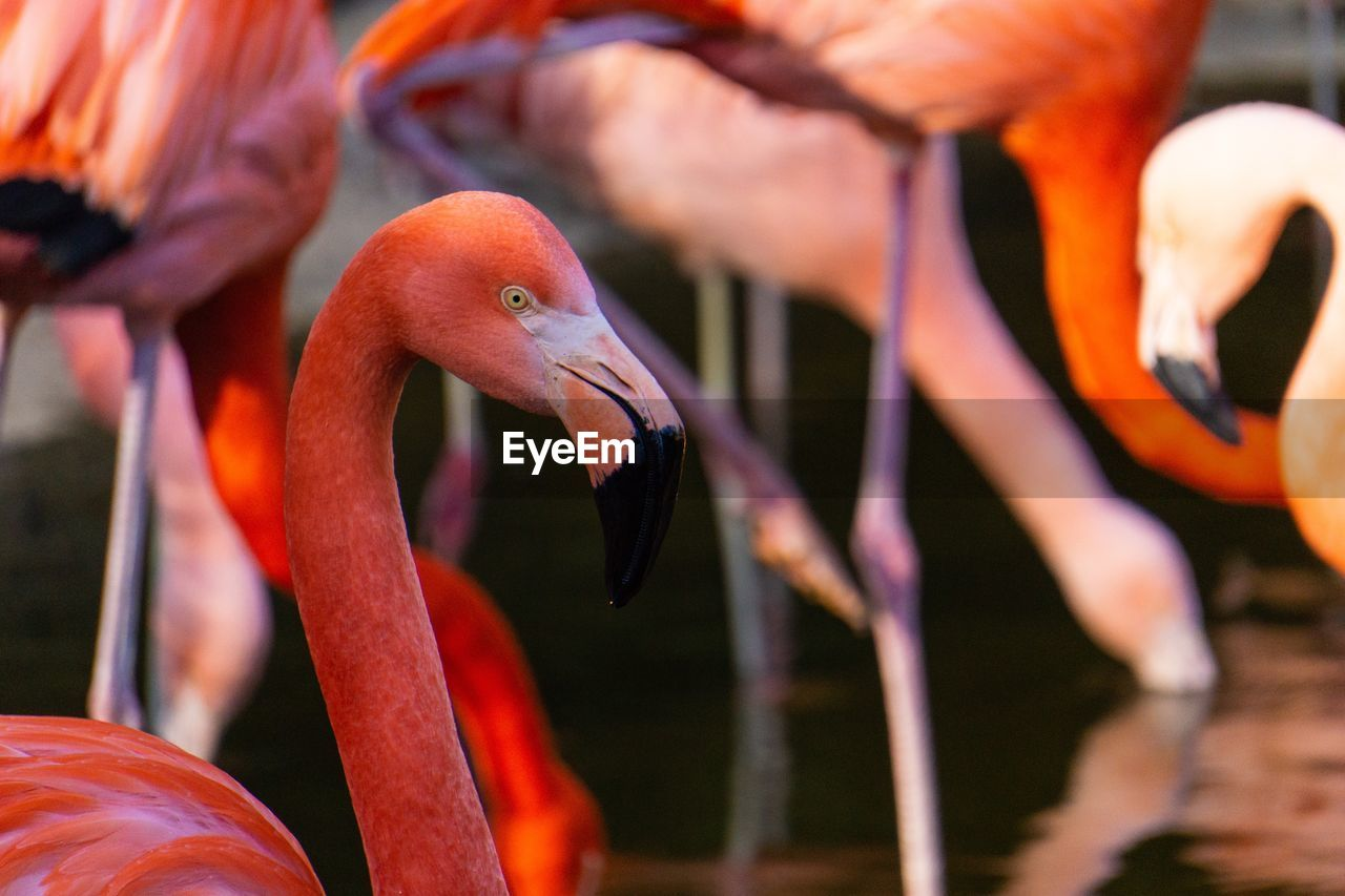 bird, vertebrate, animal themes, animal, animal wildlife, animals in the wild, flamingo, orange color, group of animals, no people, beak, focus on foreground, nature, day, water, beauty in nature, pink color, close-up, animal body part, outdoors, animal neck, flock of birds, freshwater bird